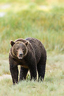 Brown bear (Ursus arctos) in search of salmon at Geographic Harbor in Katmai National Park in Southwestern Alaska. Summer. Afternoon.