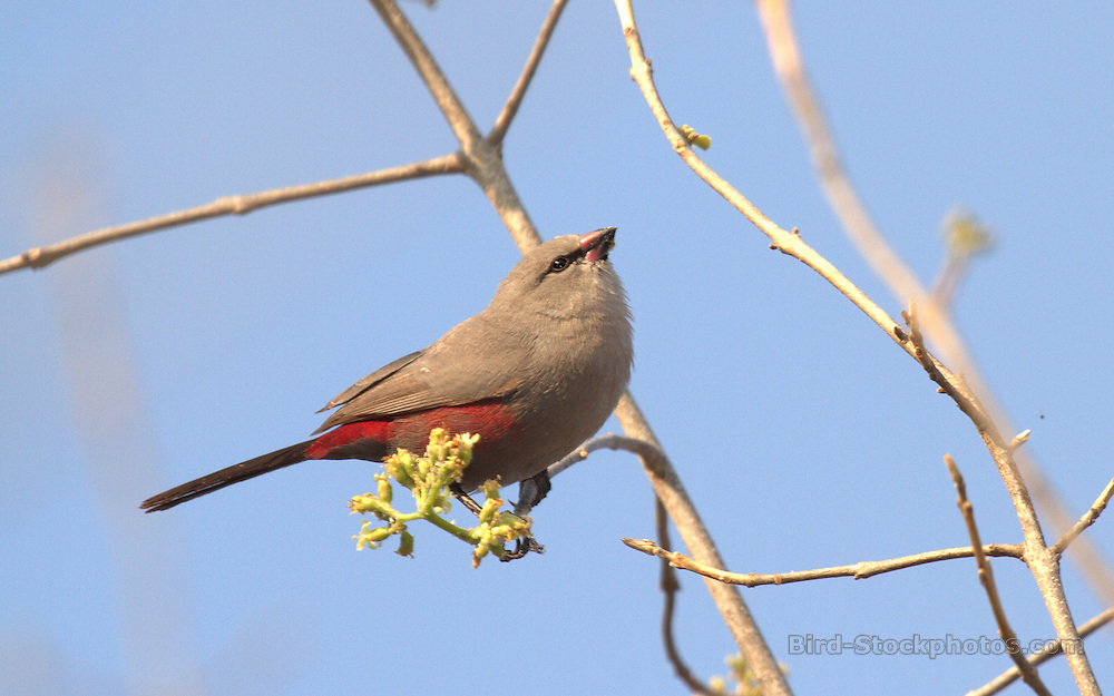 Cinderella Waxbill, Estrilda thomensis, Angola, by David Hoddinott