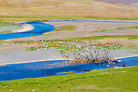 Mongolie, Asie Centrale, Region d'Ovorkhangai, historique vallée d'Orkhon, patrimoine mondial de l'UNESCO, riviere, fleuve d'Orkhon, troupeaux de mouton en pature // Mongolia, Central Asia, Ovorkhangai province, historical valley d'Orkhon, world heritage of UNESCO, Orkhon river, herd of sheep on the pasture