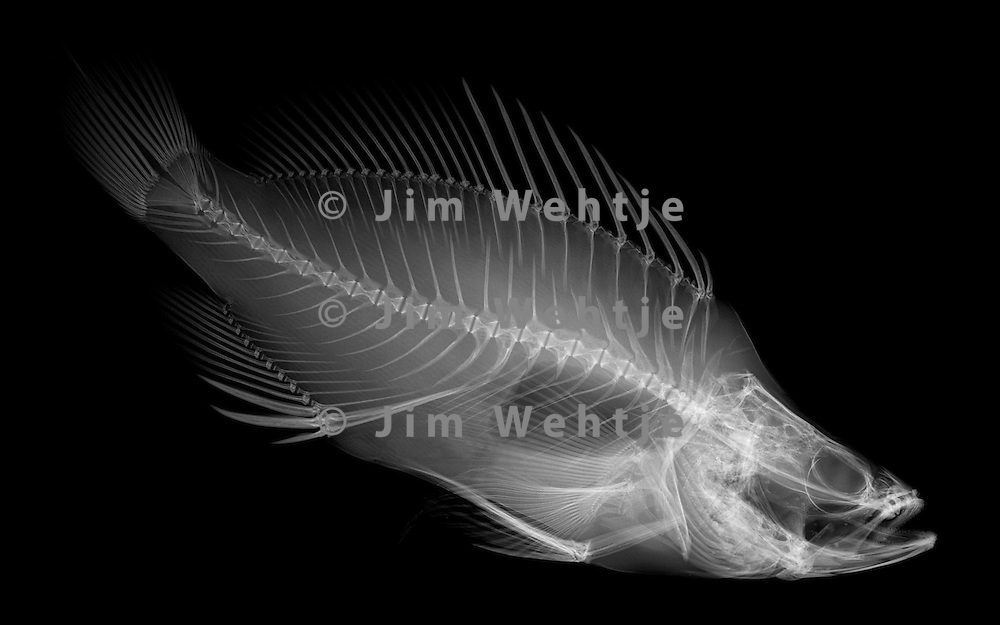 X-ray image of a grouper fish (white on black) by Jim Wehtje, specialist in x-ray art and design images.