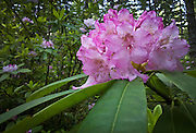Pacific Rhododendron (Rhododendron macrophyllum)flowers in the forest