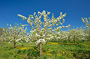 Apple trees in bloom (flowering) on an orchard on Lake Ontario in the Niagara Region.  Golden Horseshoe. Niagara Peninsula.<br />