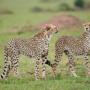 Cheetah (Acinonyx jubatus) Two male siblings. Masai Mara Game Reserve. Kenya. Africa.