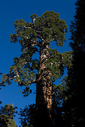 """General Grant - a Giant Sequoia tree - is the third largest tree in the world by volume, also the """"Nation's Christmas Tree"""" by proclaimation of President Calvin Coolidge in 1926.  The tree was also proclaimed a """"National Shrine"""" in 1956 a memorial to those who died in World War 2 - the only living thing so declared.  General Grant is located in the Grant Grove of Kings Canyon National Park, California, United States of America."""