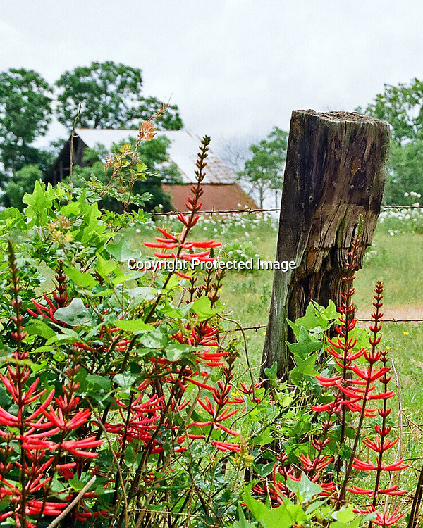 "Red flowers, barbed wire, and wooden post frame an old barn in the background. NOTE: Click ""Shopping Cart"" icon for available sizes and prices. If a ""Purchase this image"" screen opens, click arrow on it. Doing so does not constitute making a purchase. To purchase, additional steps are required."