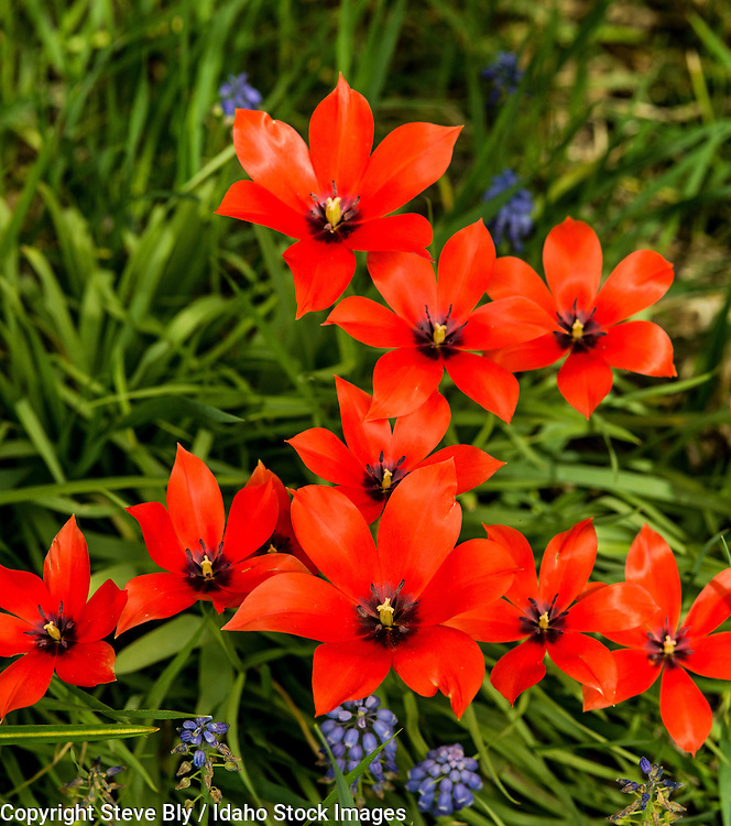 Flowers, Close-up of Red Tulips called species. USA
