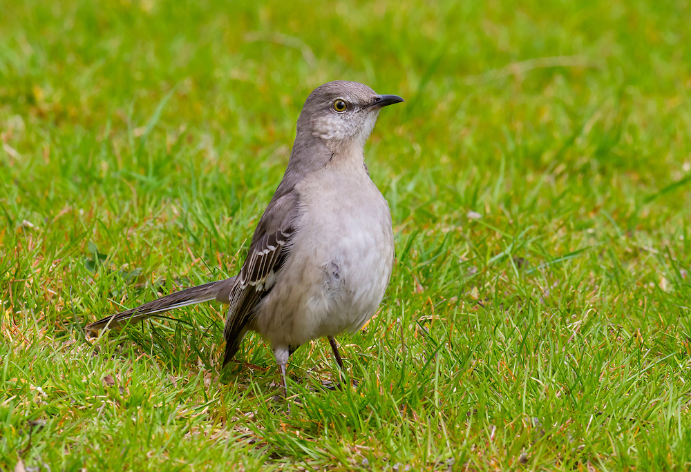 Early Spring. A mocking bird, male, looking for a mate.