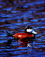 Ruddy Duck Yellowstone National Park