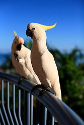 AUSTRALIA QUEENSLAND AIRLIE BEACH 21FEB08 - Sulphur crested Cockatoos in Airlie Beach, Queensland...jre/Photo by Jiri Rezac..© Jiri Rezac 2008..Contact: +44 (0) 7050 110 417.Mobile:  +44 (0) 7801 337 683.Office:  +44 (0) 20 8968 9635..Email:   jiri@jirirezac.com.Web:    www.jirirezac.com..© All images Jiri Rezac 2007 - All rights reserved.