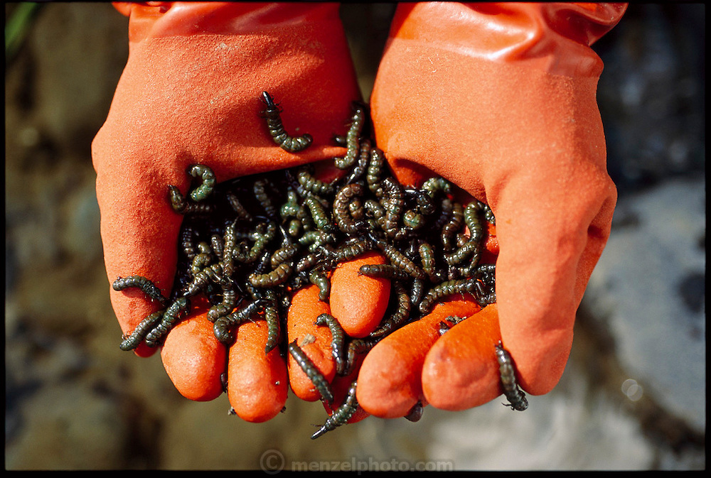 A collection of zaza-mushi in the hands of Kazumi Nakamura, a retired fisherman who belongs to an elite group of licensed zaza-mushi hunters. The worms, named for zaza, the sound of rushing water, and mushi, insect, are found under the rocks of the cold Tenru River, and are at the peak of their flavor when harvested in December and January, Ina City, Japan. (Man Eating Bugs page 32 Top)