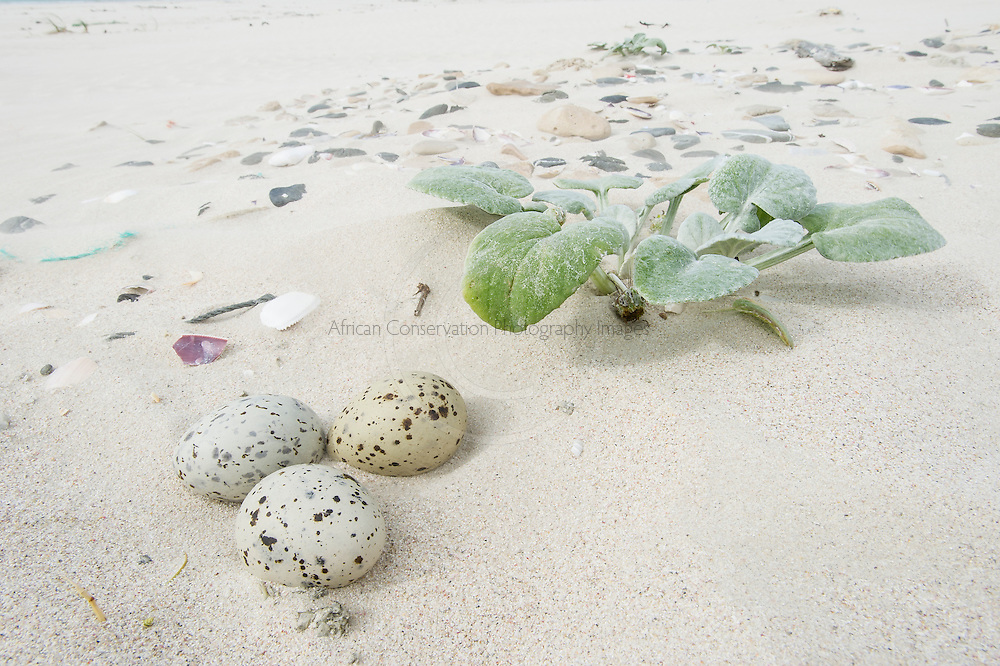 The three camoflagued eggs of a Caspian Tern placed in a shallow scrape above the high water mark on the beach, De Hoop Marine Protected Area, Western Cape, South Africa