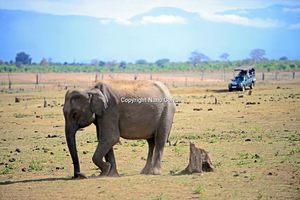 Sri Lankan elephant (Elephas maximus maximus) and safari jeep in Udawalawe National Park, on the boundary of Sabaragamuwa and Uva Provinces, in Sri Lanka.