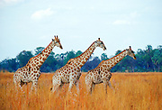 A herd of three giraffes walking in line in the African savannah, Botswana RESERVED USE - NOT FOR DOWNLOAD -  FOR USE CONTACT TIM GRAHAM