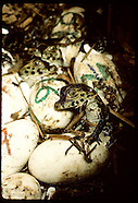 01: CAIMANS HATCHING