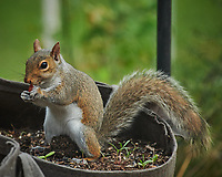 Squirrel eating Daffodil bulb. Image taken with a Nikon D850 camera and 200-500 mm f/5.6 VR lens