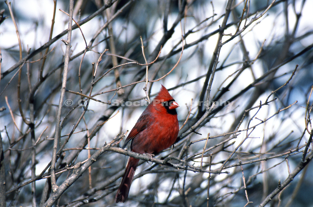 Photo of the Northern Cardinal, which is the official state bird of Ohio.