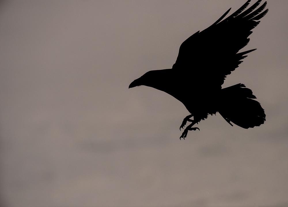 Raven in flight, Iceland