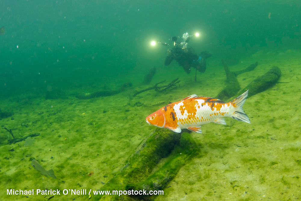 A cameraman films an invasive koi in Blue Springs State Park, located in Deltona, Florida.