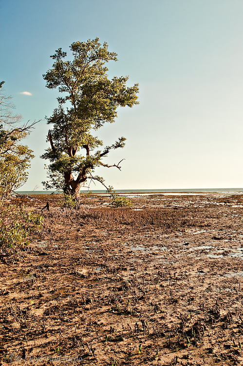 A lone mangrove awaits the return of the tide at Rabbit Key, Everglades, Florida