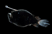 [captive] Bioluminescent Anglerfish or Triplewart Sea Devil (Cryptopsaras couesi), deep sea fish, Atlantic Ocean, close to Cape Verde |