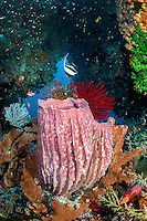 Moorish Idol, with Barrel Sponge and Colorful Feather Stars<br /> <br /> Shot in Indonesia