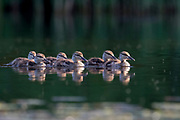 Mallard, Anas platyrhynchos, ducklings, Chippewa County, Michigan