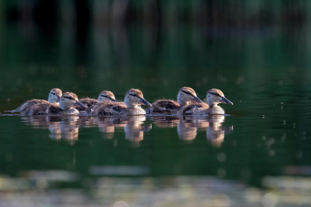 Mallard, Anas platyrhynchos, ducklings, Chippewa County, Michigan