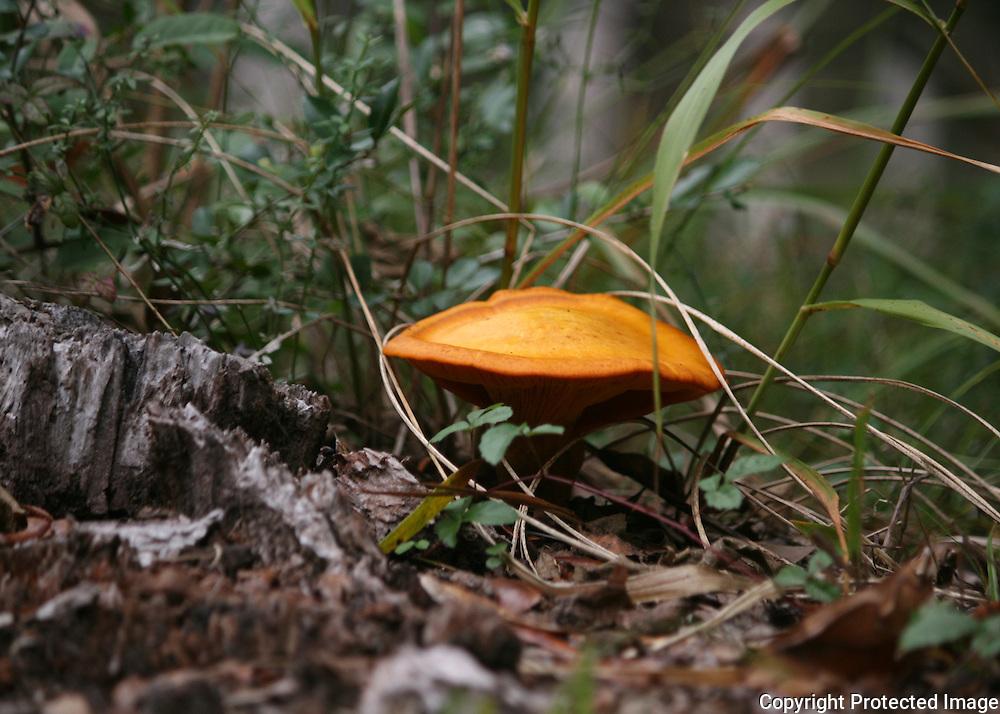 An orange mushroom growing on the stump of a long dead oak tree in a Jekyll Island forest.