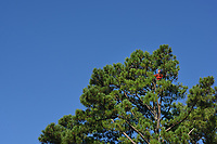 Forester in the top of a pine tree in Schenck Forest.