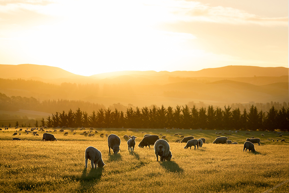 Late afternoon sun floods a farm paddock with warm light and backlights the sheep.