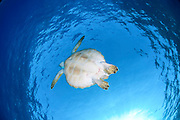 Green sea turtle (Chelonia mydas) swimming. Green sea turtles are found in warm tropical waters. They are herbivorous, eating algae and sea grasses, and can grow up to 1.5 metres in length. During the breeding season, these turtles will migrate thousands of miles to return to their hatching site. Photographed in the Red Sea, Egypt