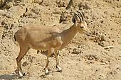 Animals - Ibex