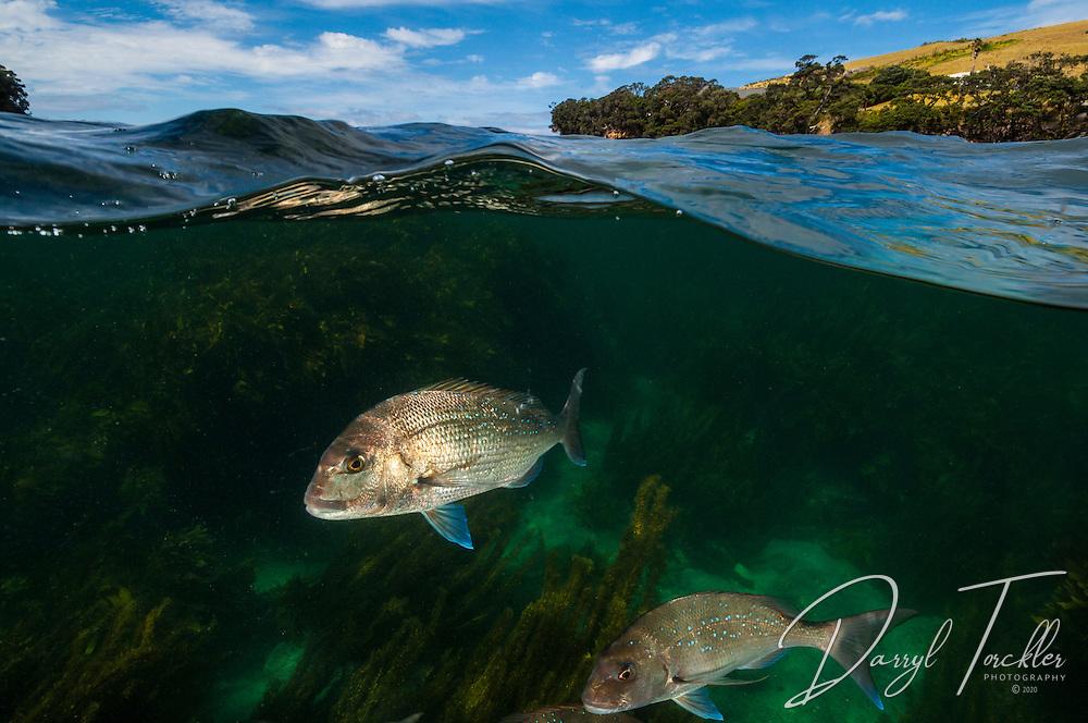 Snapper at Goat Island Bay marine reserve. New Zealand