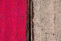 Rice is dyed pink for a festival in Bali, Indonesia, Southeast Asia