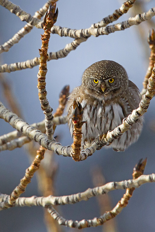 The northern pygmy-owl is an aggressive daylight hunter of small mammals, birds and insects. This compact owl is almost 7 inches long with a wingspan of 12 inches. He is a fierce predator and is known to swoop out of trees to capture his intended prey.