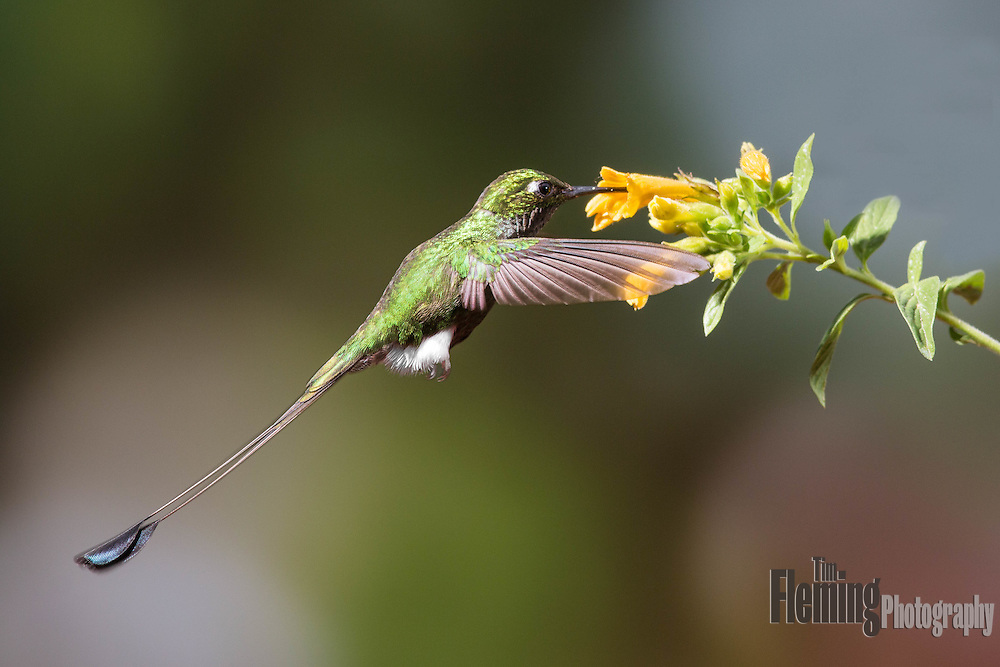 Booted racke-tail hummingbird eating nectar in Ecuador