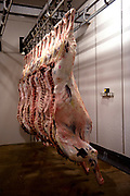 Camel carcasses hang in cold room at an abattoir in Wamboden, near Alice Springs, Northern Territory, Australia. Touted as being low in cholesterol, high in protein, and containing Omegas 3 and 6, restaurants, cafes, stations and road houses are proudly selling locally caught and slaughtered camel in the form of sausages, burger patties, small goods and steaks.