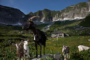 Alpage sur la pleine des Morteys, Vanils noir, parc régional, Pro Natura, Protection de la faune