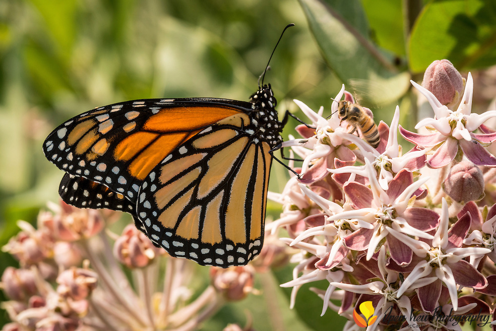 Monarch butterfly (Danaus plexippus) and a honey bee on Showy Milkweed (Asclepias speciosa)  in Salmon, Idaho.