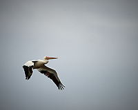American White Pelican in flight. Biolab Road, Merritt Island National Wildlife Refuge. Image taken with a Nikon D4 camera and 300 mm f/2.8 VR lens (ISO 100, 300 mm, f/2.8, 1/5000 sec).