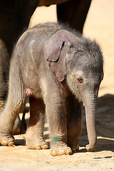 © Licensed to London News Pictures. 6/8/2009. Twycross, Leicestershire, UK. STOCK PICTURE. Baby elephant Ganesh Vijay, who was born in August 2009 and died in March 2011. Ganesh was born using arificial insemination, the mother was Noorjahan. Photo credit : Dave Warren/LNP