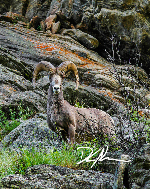 A big horn among the rocks, notice the texture of the horns match the rocky texture