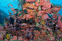 Anthias, Damsels, and Butterflyfish take cover under coral head