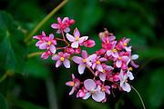 Begonia Flower, Kula, Upcountry Maui, Hawaii