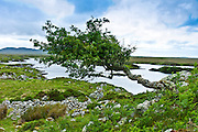 Windswept Tree by the Old Bog Road, Connemara, County Galway, Ireland