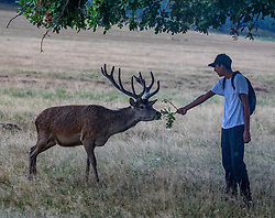 © Licensed to London News Pictures. 13/08/2020. London, UK. A walker and a stag both cower under a tree in Richmond Park as thunderstorms and heavy rain descend on South West London after several days of dry hot weather which saw temperatures in excess of 35c. The Met Office have issuing a yellow weather warning for thunderstorms and heavy rain for the London area with risk of flooding and possible travel disruption. Photo credit: Alex Lentati/LNP