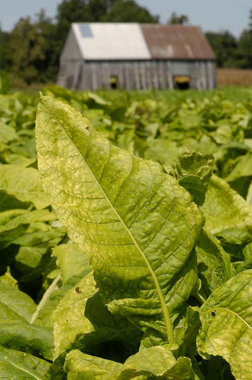 Tobacco in Maryland