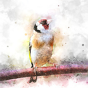 Digitally enhanced image of an European goldfinch (Carduelis carduelis) in breeding plumage at rest on a branch.