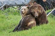 For eleven days, the grizzly sow, known as Raspberry, and her beau courted; sometimes in full view of their many admirers.  Female bears, like Raspberry, are receptive to males during their estrus cycle which can last on average 11 days, but may last as long as 27 days.