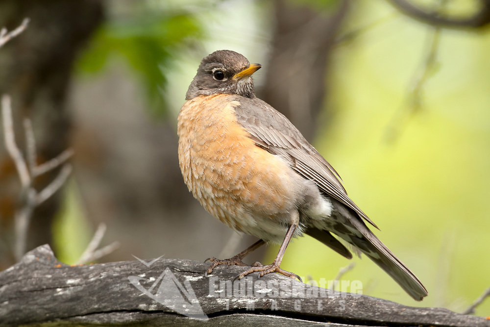 An American Robin hops up onto a dead branch on the ground this is a ground feeding bird eating insects and earthworms.